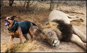 λιονταρι ψοφιο